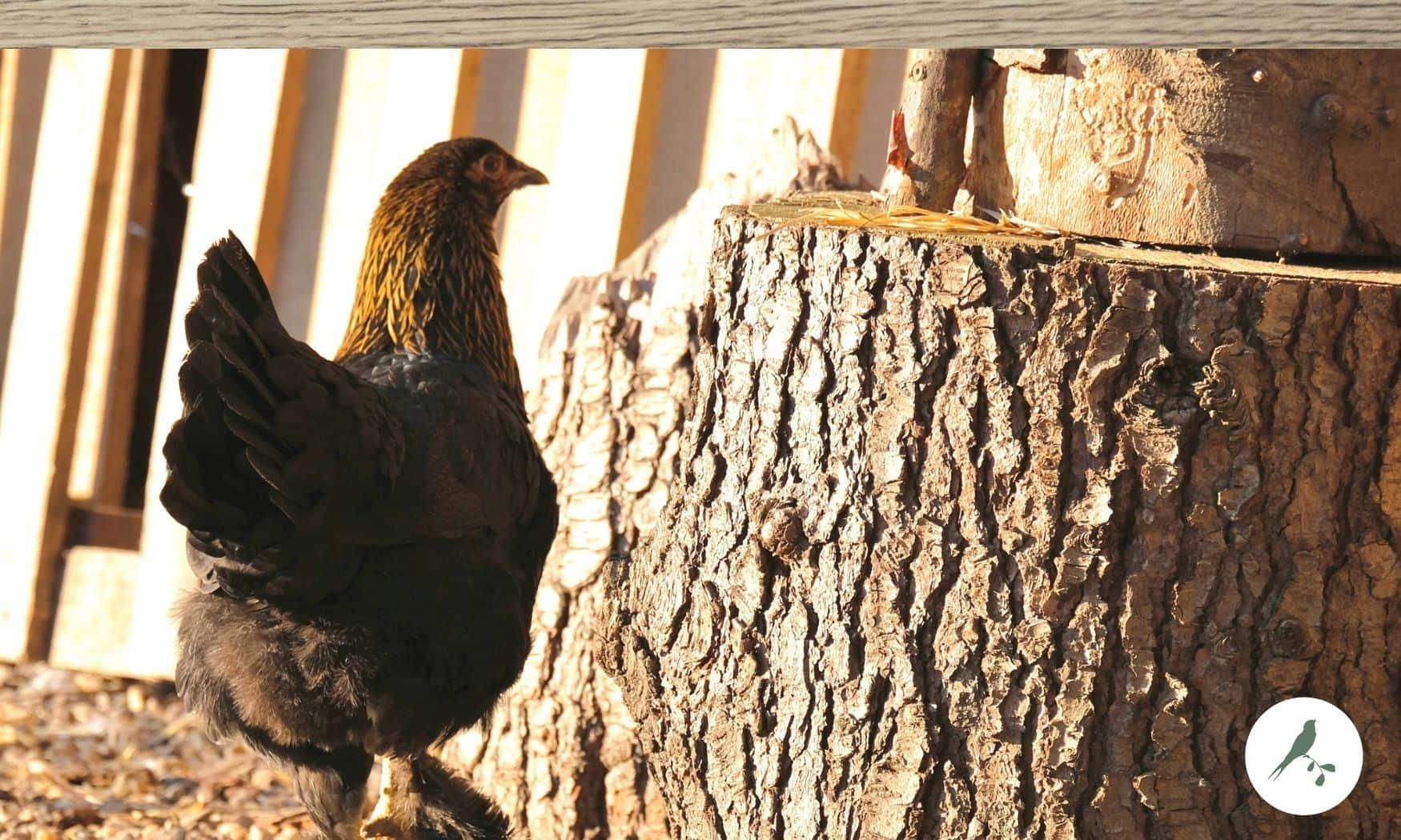 de Kleine Wildenberg -boerderij vakantie - kippen - eitje rapen